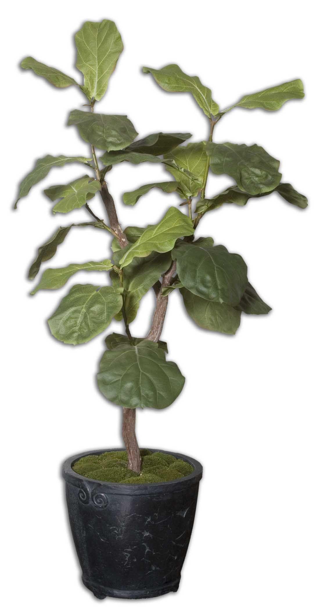 Fiddle Leaf Fig Tree Lookup Beforebuying